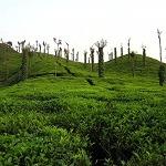 Assam, Tea Garden