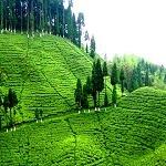 Darjeeling, Tea Garden