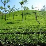 Munnar, Tea Garden